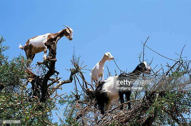 Morocco Near Essaouira Goats In Argan Tree Close Up