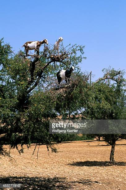 Morocco Near Essaouira Goats In Argan Tree
