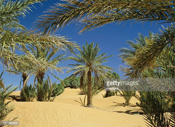 morocco palms in the sahara desert (image size xxl) - date palm tree stock pictures, royalty-free photos & images