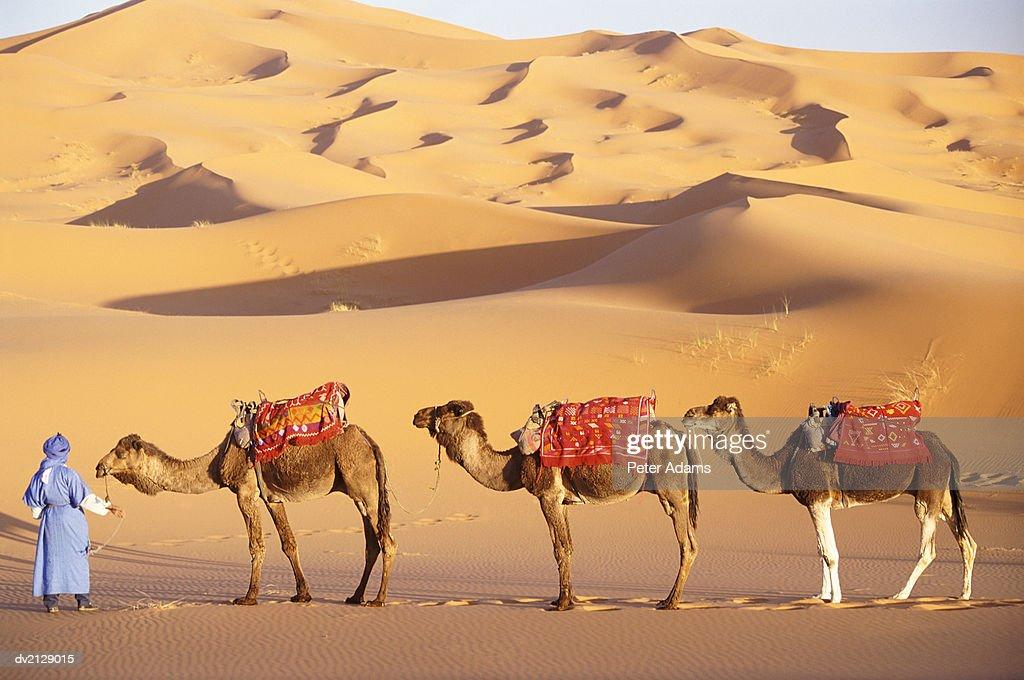 Morocco, Sahara Desert, man holding three camels : Stock Photo
