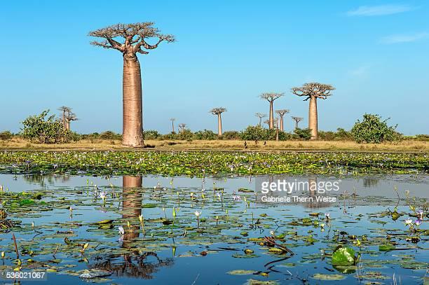 Morondava, Baobab alley