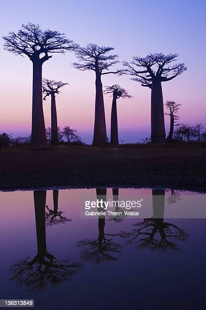 morondava - baobabs - madagascar fotografías e imágenes de stock