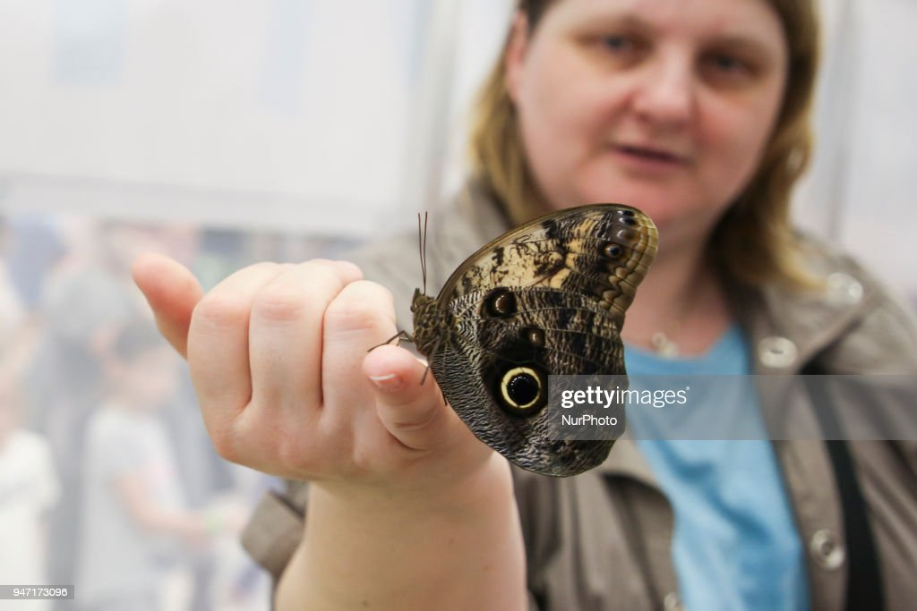 Morpho butterflies are shown during 'Animal Show 2018' trade fair and exhibition in Krakow, Poland on 14 April, 2018.