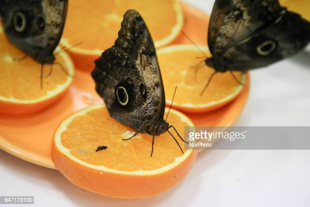 Morpho butterflies are shown during 'Animal Show 2018' trade fair and exhibition in Krakow Poland on 14 April 2018