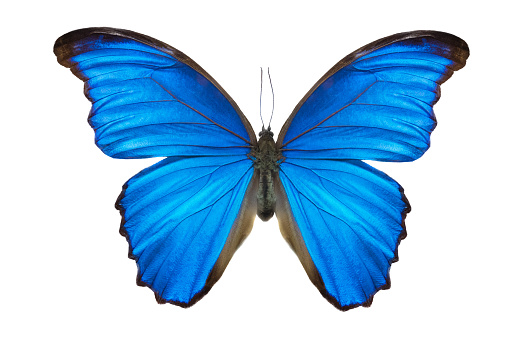 Morpho butterfly (Morpho didius). a blue butterfly from South America 988209044