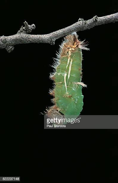 morpho peleides (blue morpho) - caterpillar pupating - hatching stock pictures, royalty-free photos & images