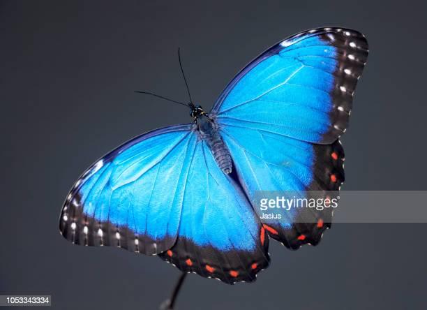 morpho peleides – peleides blue morpho butterfly - farfalle colorate foto e immagini stock
