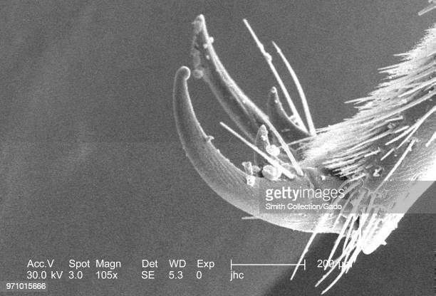 Morphologic details at the distal end of a leg of a carpenter bee found in Decatur Georgia depicted in the 105x magnified scanning electron...
