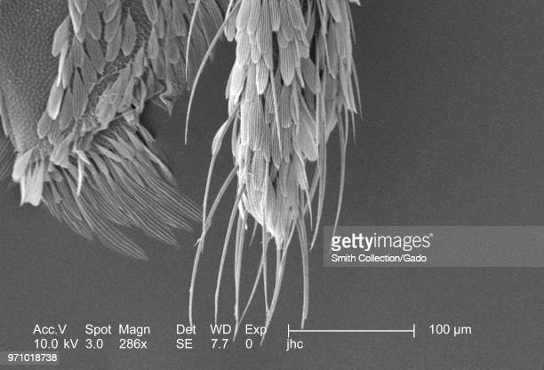 Morphologic features on the exoskeletal surface of an Anopheles dirus mosquito's distal tip revealed in the 286x magnified scanning electron...