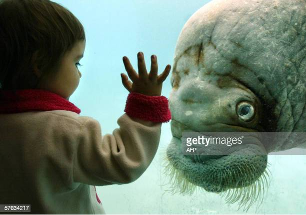 A little girl looks at a walrus in a pool of Moscow's zoo 17 May 2006 AFP PHOTO FEDOR SAVINTSEV