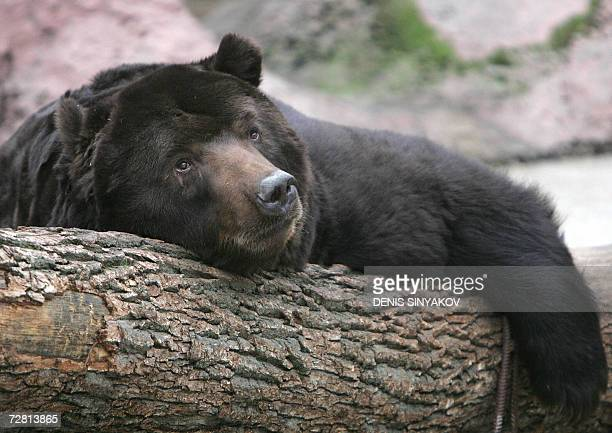 Moscow, RUSSIAN FEDERATION: This Kamchatka 25-year-old, brown bear called Mushir, rests on a trunk since he cannot go into hibernation in the...