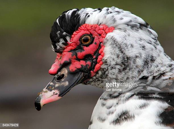 moscow's finest - muscovy duck stock pictures, royalty-free photos & images