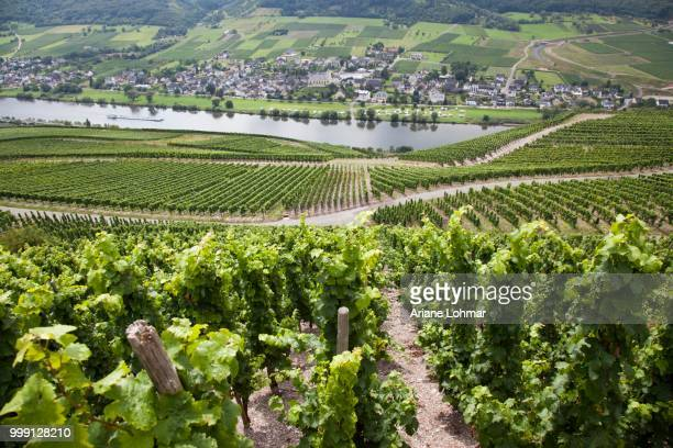 moselle river and vineyard opposite of loesnich, rhineland-palatinate, germany, publicground - moselle france stock pictures, royalty-free photos & images