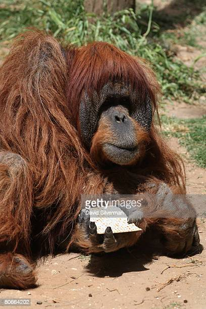 Moshon a 35yearold orangutan snacks on Matza the unleavened crackerlike bread that religious Jews eat during the upcoming festival of Pesach as the...