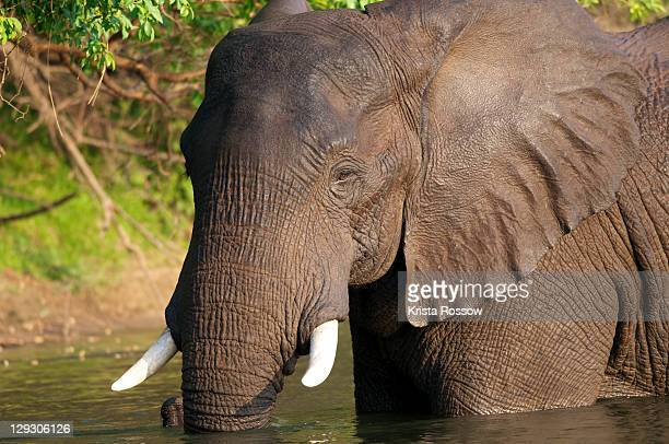 An elephant wades in water.