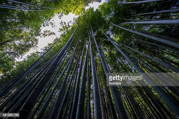 Moso bamboo Phyllostachys edulis can reach 28 m tall the plant is the mostly widely used in the bamboo textile industry The Sagano Bamboo Forest is a...