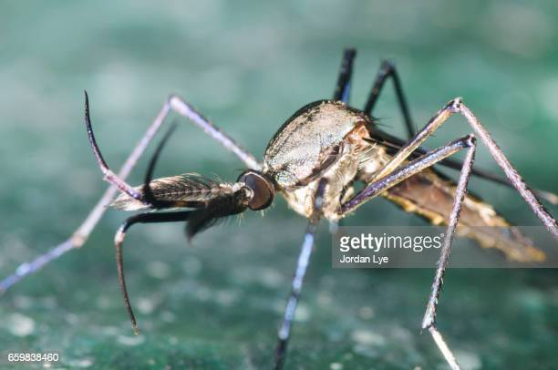 mosquito close up - zika stock photos and pictures