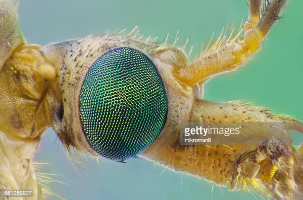 Mosquito eye close up