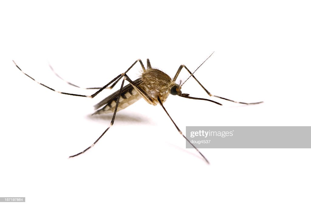 Mosquito Isolated on White : Stock Photo