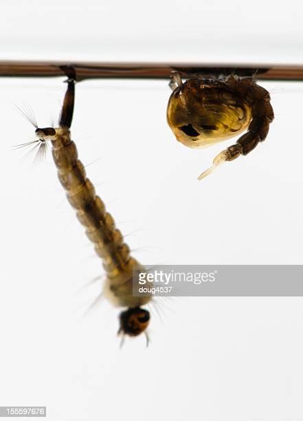 モスキート幼虫と Pupa
