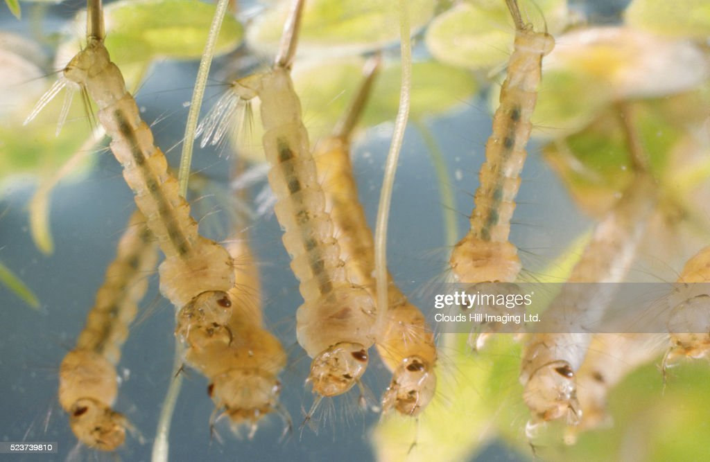 Mosquito Larvae : Stock Photo