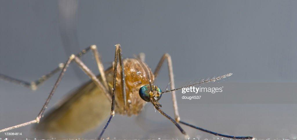 Mosquito Macro Panorama : Stock Photo