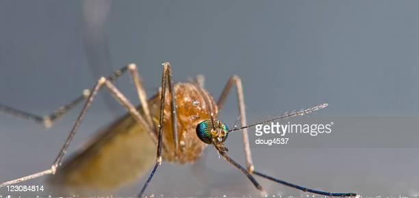 Mosquito Macro Panorama