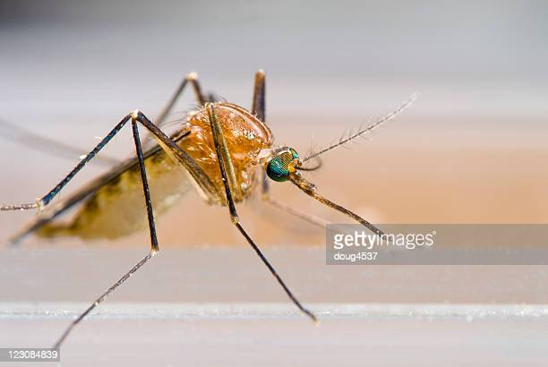 mosquito macro - mosquito stock photos and pictures