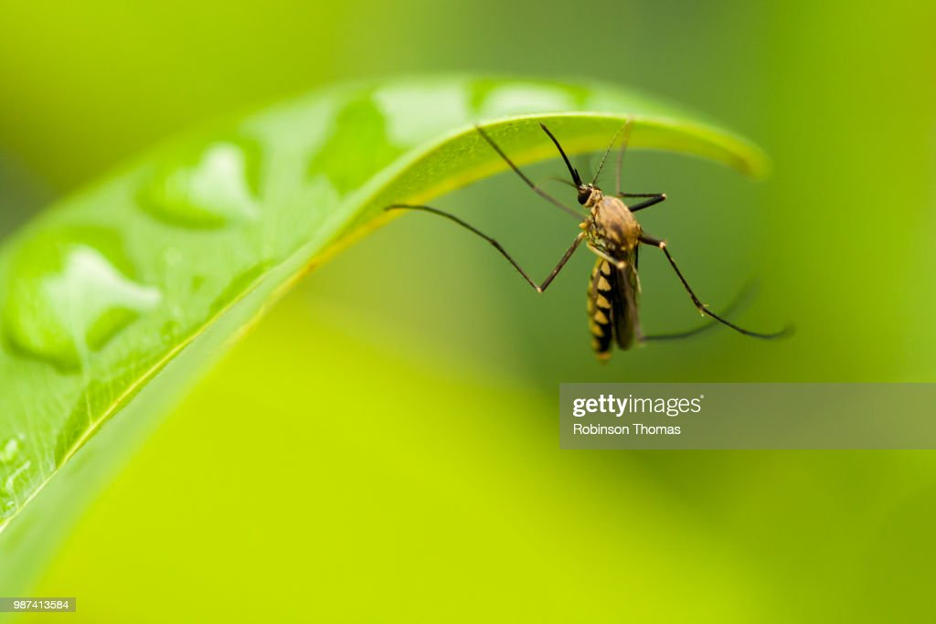 Mosquito on a leaf : Stock Photo