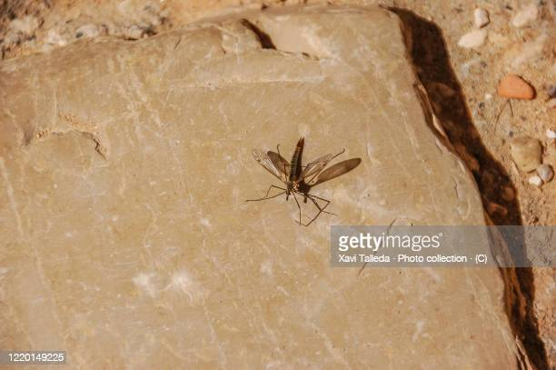 mosquito on a smooth stone - letrac stock pictures, royalty-free photos & images
