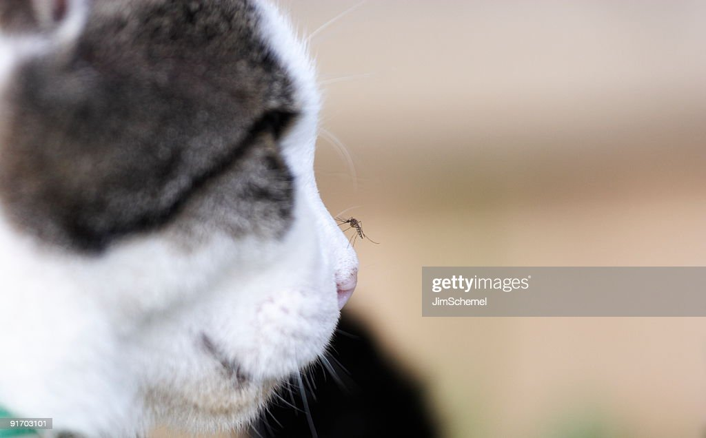 Mosquito on Cats nose : Stock Photo