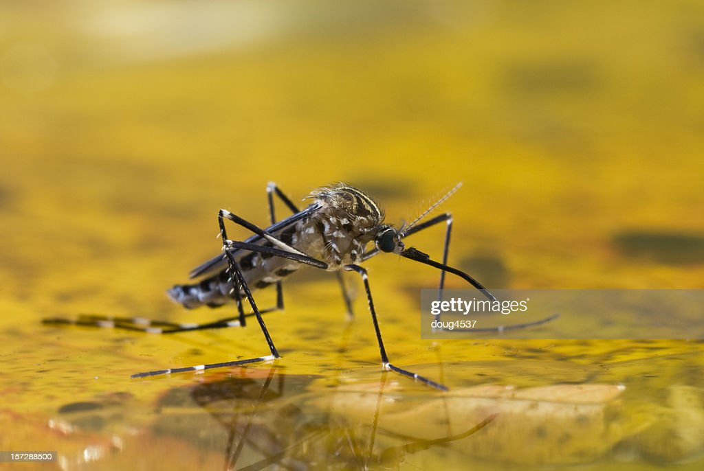 Mosquito on Water : Stock Photo