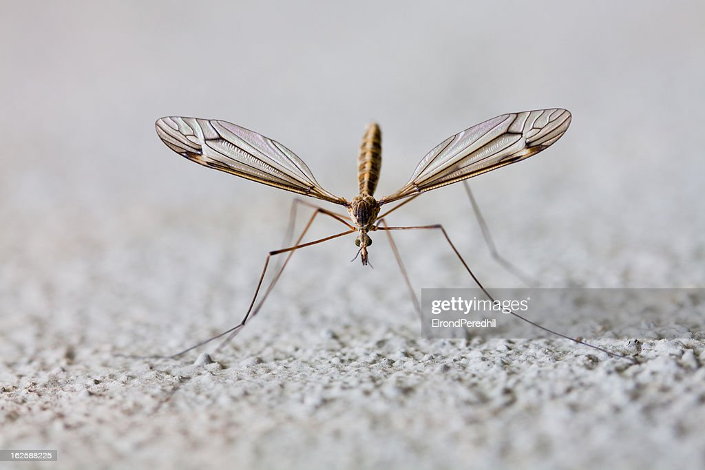 Mosquito : Stock Photo