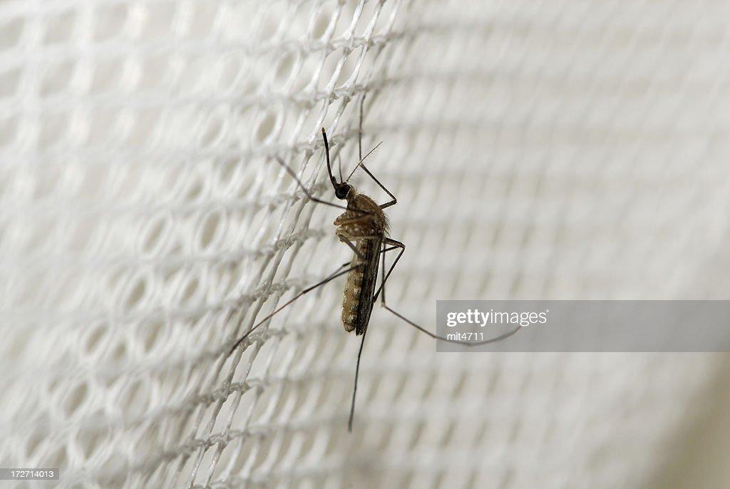 Mosquito : Stock Photo