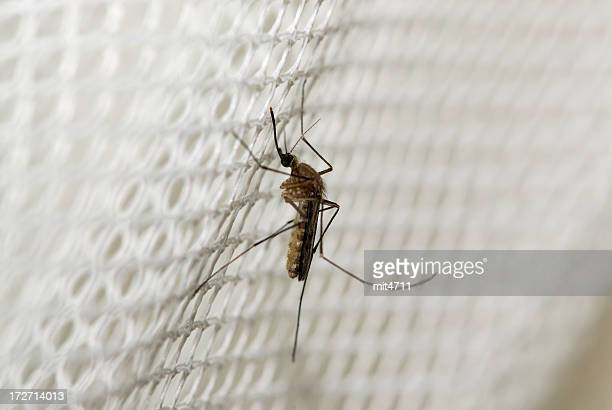 mosquito - malaria parasite stock pictures, royalty-free photos & images