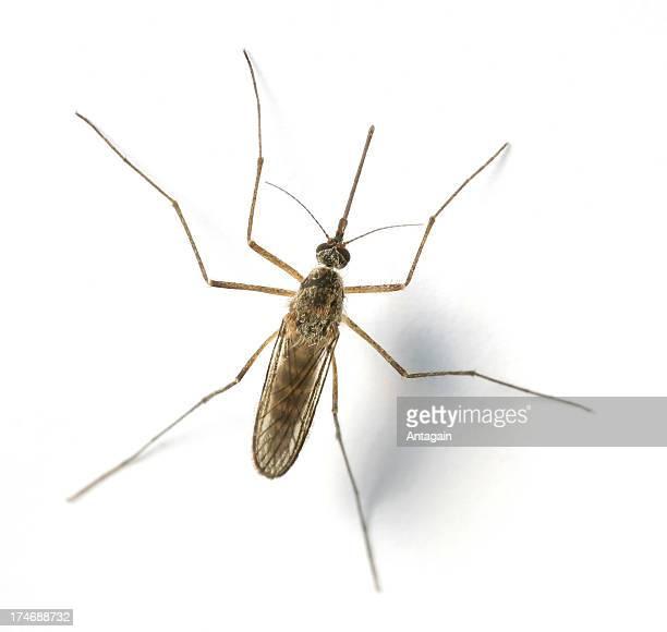 mosquito - mosquito imagens e fotografias de stock