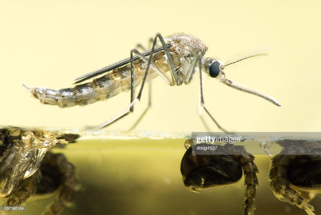 Mosquito Resting On Water : Stock Photo