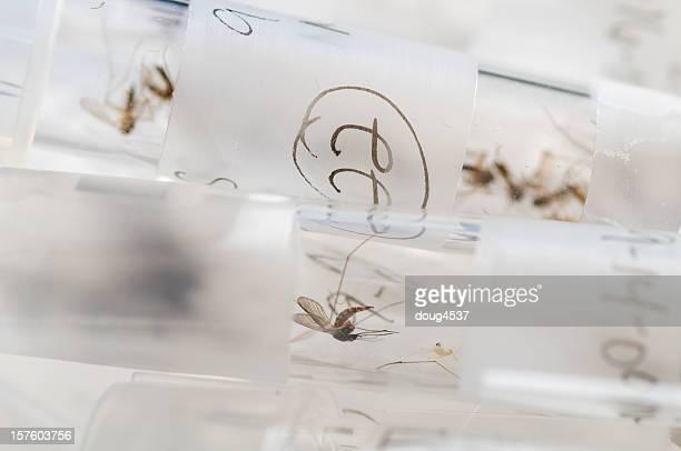 Mosquito Sample