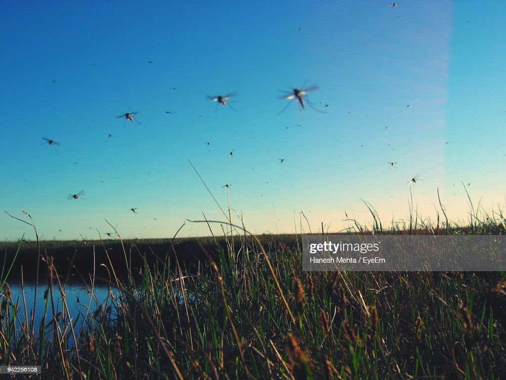 Mosquitoes Flying Over Field Against Clear Sky : Stock Photo