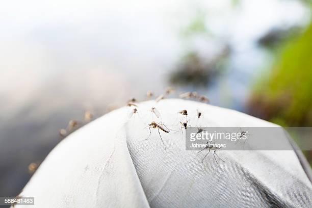 Mosquitos,  close-up