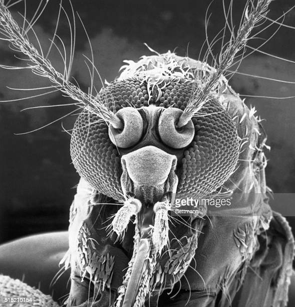 Mosquito's Portrait A face only a mother could love Electron micrograph photo from an exhibit at the National Museum of Natural History