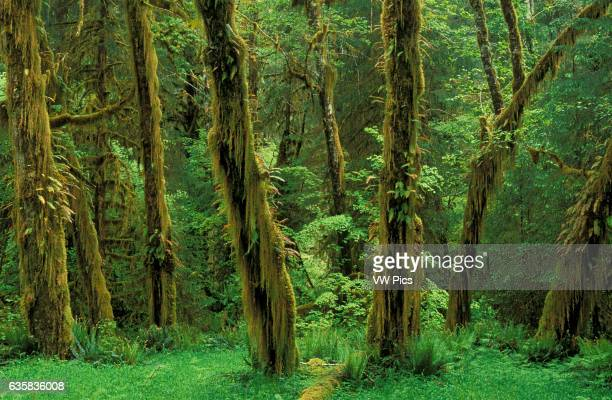 Moss and ferncovered Alder trees along Spruce Trail Hoh Rainforest Olympic National Park Washington