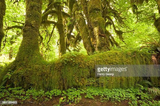 moss and trees grow on fallen nurse tree, Hoh Rainforst, Olympic National Park, Olympic Penninsula, Washington, USA.