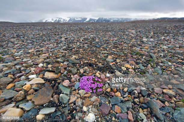 Moss campion cushion pink in flower in summer on the arctic tundra Svalbard Spitsbergen Norway
