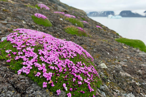 Moss campion cushion pink in flower in summer on the arctic tundra moss campion cushion pink silene acaulis in flower in summer on the arctic mightylinksfo