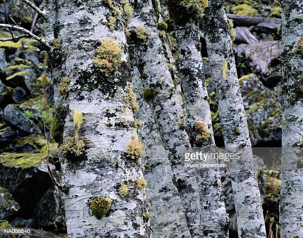Moss Covered Alder Trunks