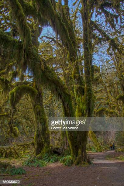 Moss covered Bigleaf maple trees
