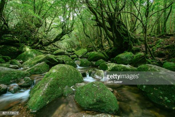 Moss covered rocks in lush green forest of Yakushima, Japan