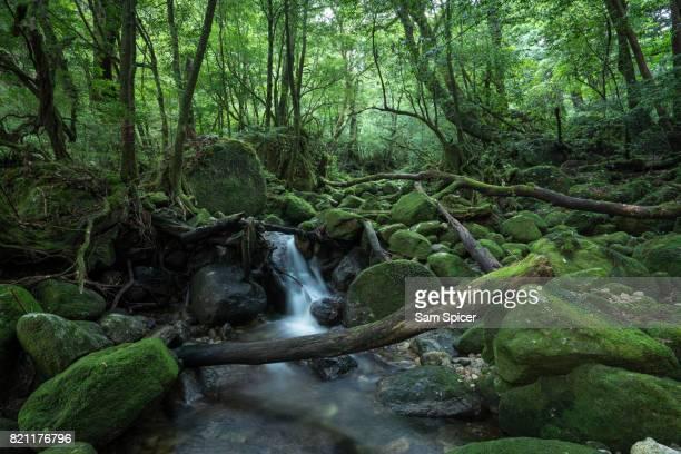 Moss covered rocks in Rainforest, Yakushima Island, Japan