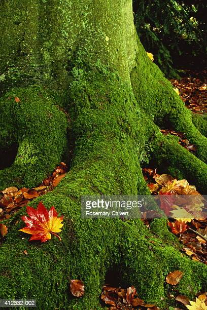 Moss covered roots of beech tree and maple autumn leaves